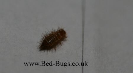 bed bug carpet beetle lavae by Bed Bugs Limited of London