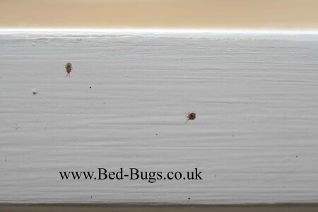 bed bug bird mite by Bed Bugs Limited of London